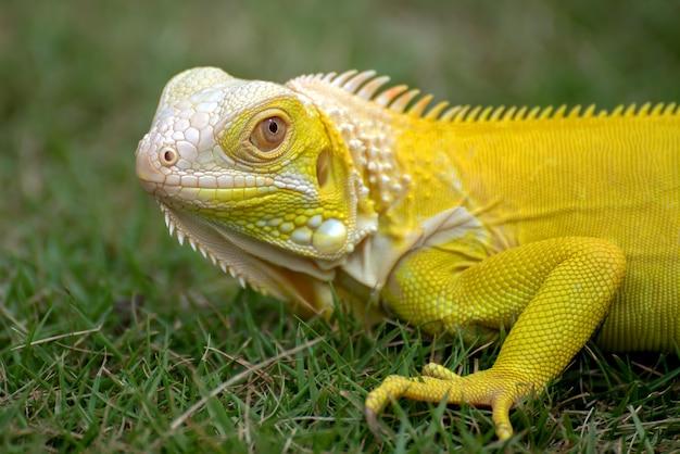 Iguana albina amarela na grama