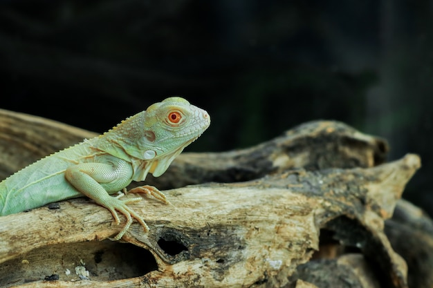 Iguana albina colorida azul clara