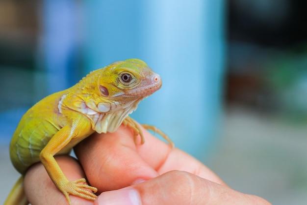 Iguana albina