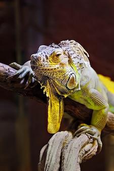 Iguana amarela e verde em uma árvore