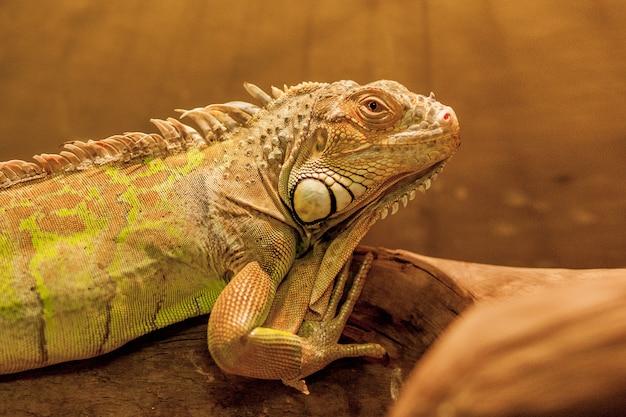 Iguana americana em cativeiro