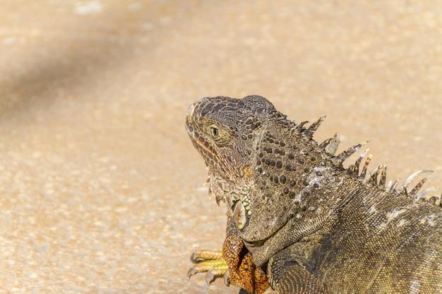 Iguana ao ar livre no rio de janeiro, brasil.