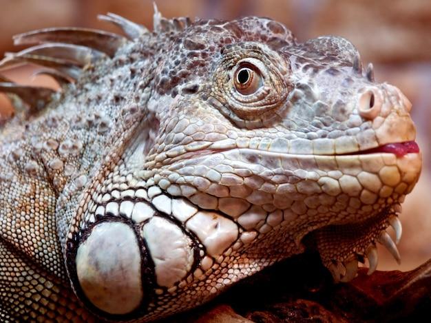 Iguana baleada de perto