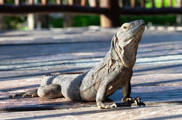 Iguana cancun méxico