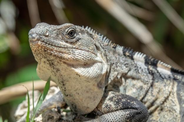 Iguana cinza e preta descansando na grama
