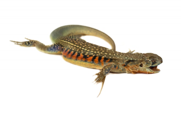 Iguana da ásia ou lagartos borboleta isolar em branco