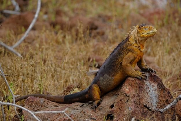 Iguana em pé sobre uma rocha perto do campo gramado seco com fundo desfocado