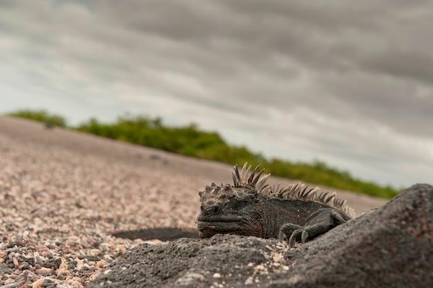 Iguana marinha, (amblyrhynchus, cristatus), punta, espinoza, fernandina, ilha, ilhas galapagos, equador
