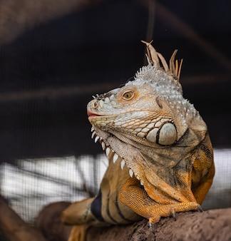 Iguana marrom