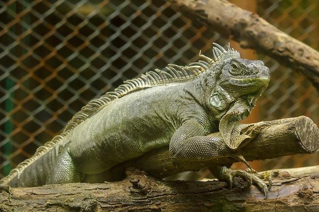 Iguana na branchesiguana é um residente da américa central e do sul.