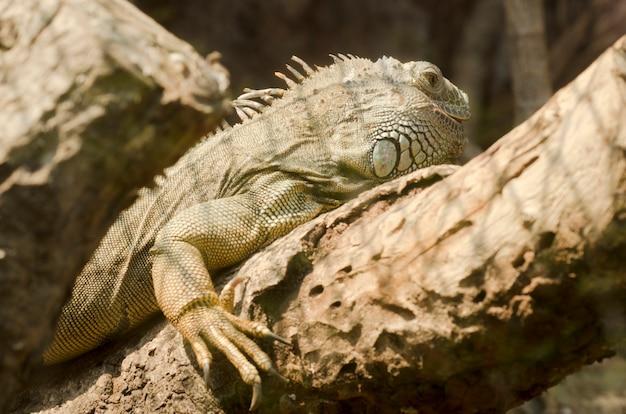 Iguana no zoológico aberto, tailândia