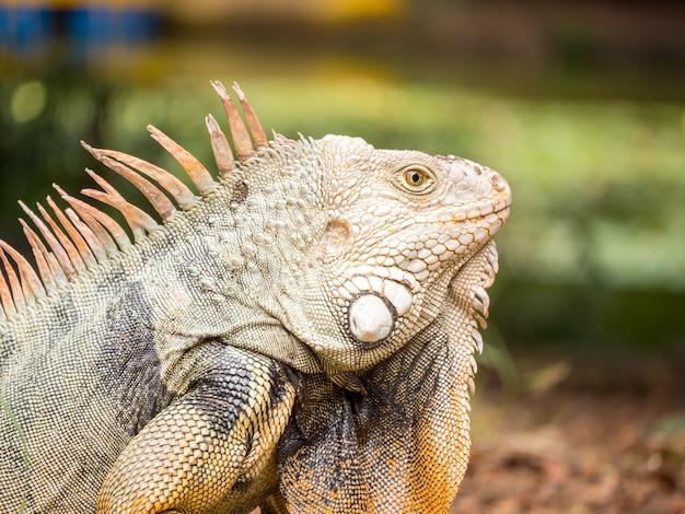 Iguana olhando para a grama