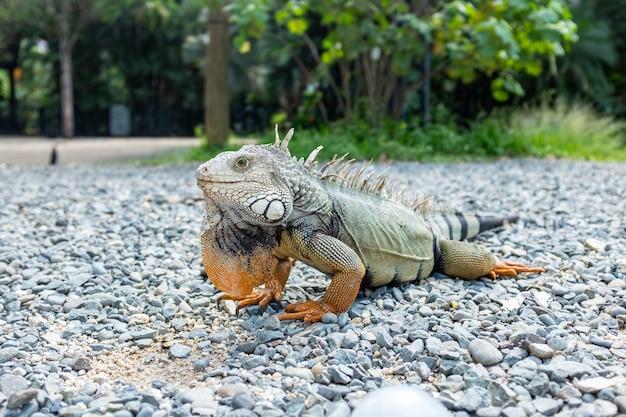 Iguana olhando para pedras