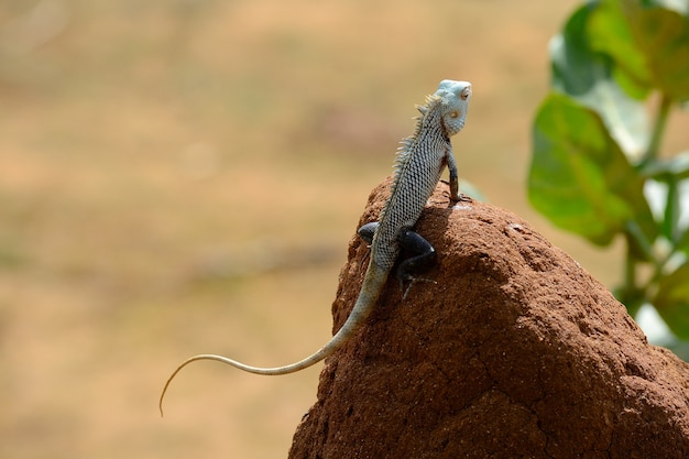 Iguana, parque nacional de yala, sri lanka
