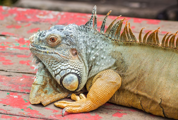 Iguana preguiçoso marrom