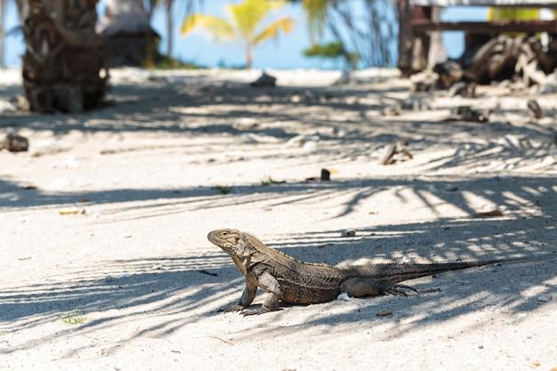 Iguana selvagem, cuba