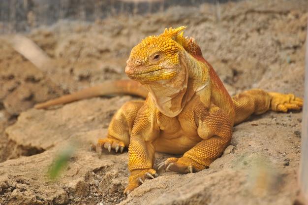 Iguana terrestre em ambiente natural
