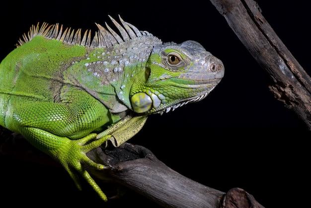 Iguana verde em fundo preto