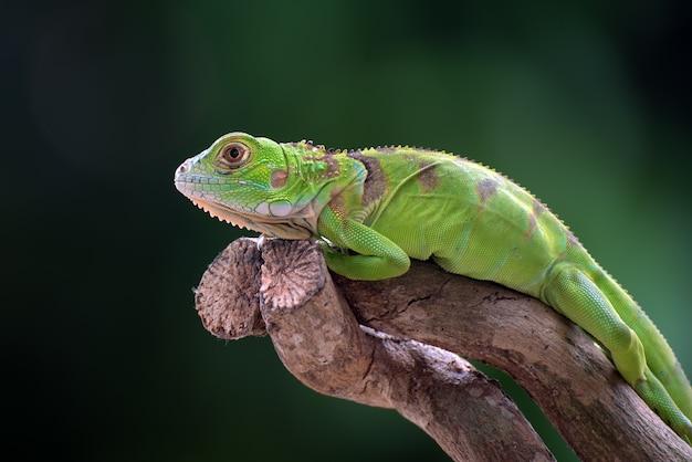 Iguana verde em um galho de árvore