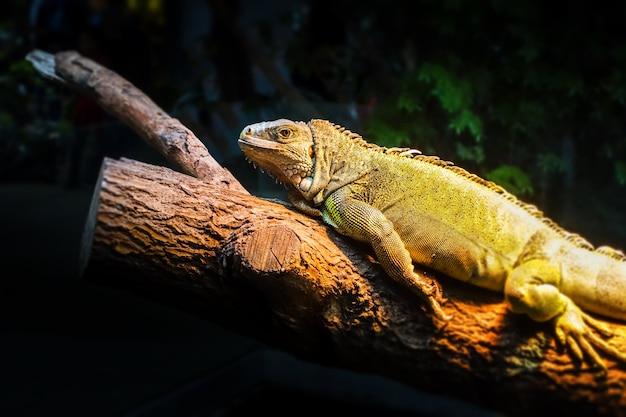 Iguana verde em um tronco de árvore na floresta tropical