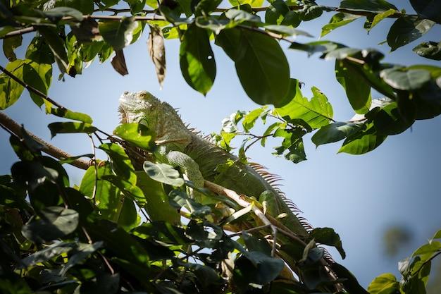 Iguana verde na árvore