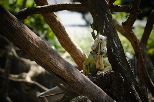 Iguana verde ou iguana americana um grande lagarto no galho de árvore.