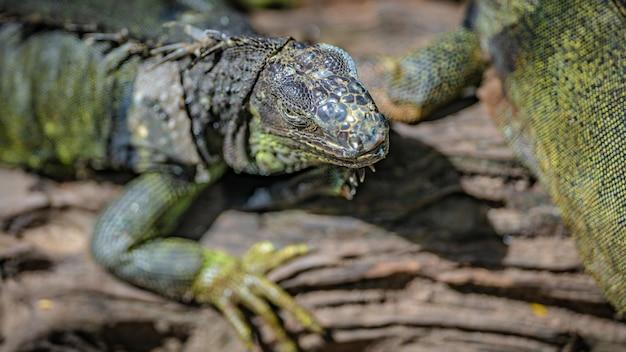 Iguana verde réptil