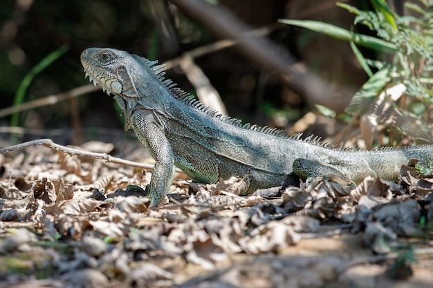 Iguana verde selvagem de perto no habitat natural