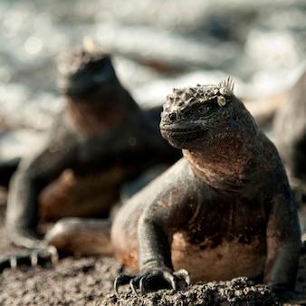Iguanas marinhos, (amblyrhynchus, cristatus), punta, espinoza, fernandina, ilha, ilhas galapagos, equador