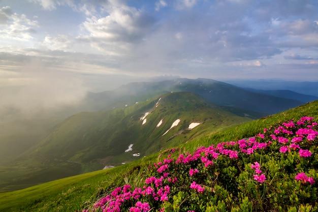 Iluminado pela encosta da montanha do sol com flores desabrochando rosa nas montanhas nevoentas com grama verde e manchas de neve sob o céu nublado azul brilhante. problemas de ecologia e beleza do conceito de natureza.