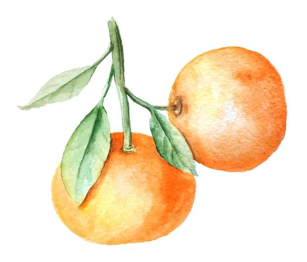 Ilustração botânica do ramo de tangerinas em aquarela vintage