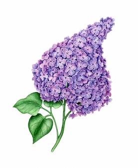 Ilustração botânica em aquarela de flor violeta syringa isolada em um fundo branco
