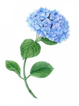 Ilustração botânica em aquarela de hortênsia azul isolada