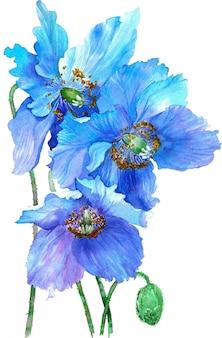 Ilustração da aguarela das papoilas de azuis isoladas no fundo branco.