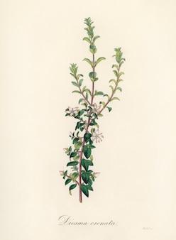 Ilustração de diosma crenata de medical botany (1836)