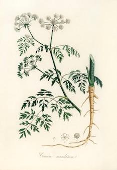 Ilustração de hemlock (conium maculatum) de medical botany (1836)