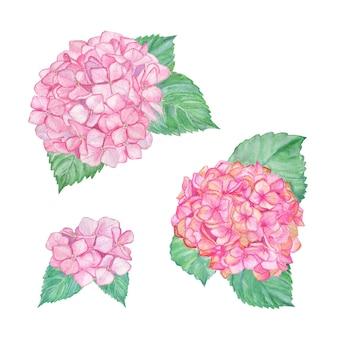 Ilustração de hortênsia rosa, aquarela desabrochando, clipart de hortênsia desenhada à mão