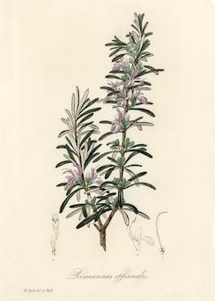 Ilustração de rosemary (rosmarinus) officinalis de medical botany (1836)