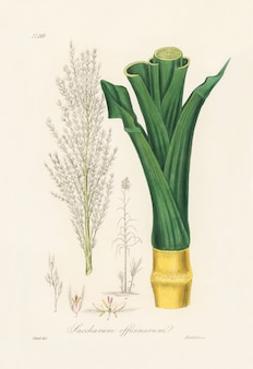 Ilustração de sugarcane (saccharum officnarum) de botânica médica (1836)