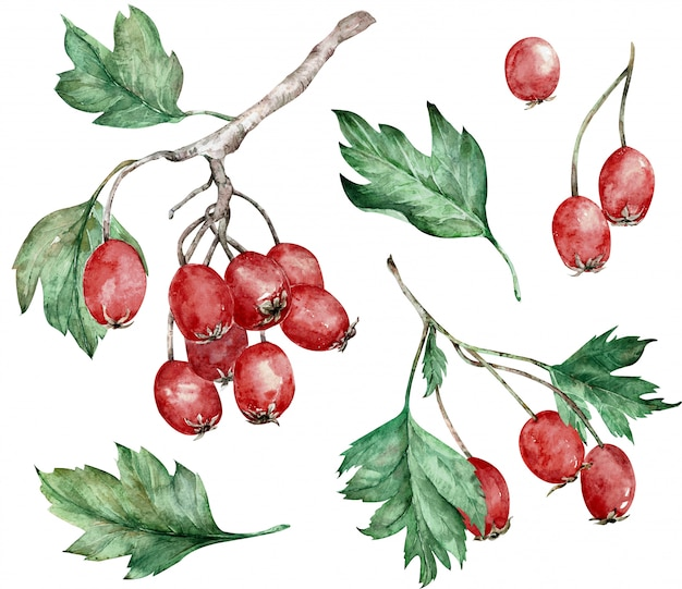 Ilustração em aquarela de bagas de espinheiro vermelho e folhas verdes nos galhos. arte botânica. clipart desenhado à mão.
