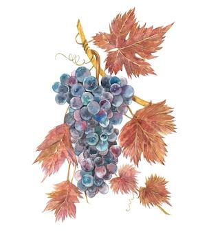 Ilustração em aquarela de cachos de uvas.
