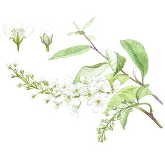 Ilustração em aquarela de flor de árvore pássaro-cereja. cartão floral com flores. ilustração botânica.