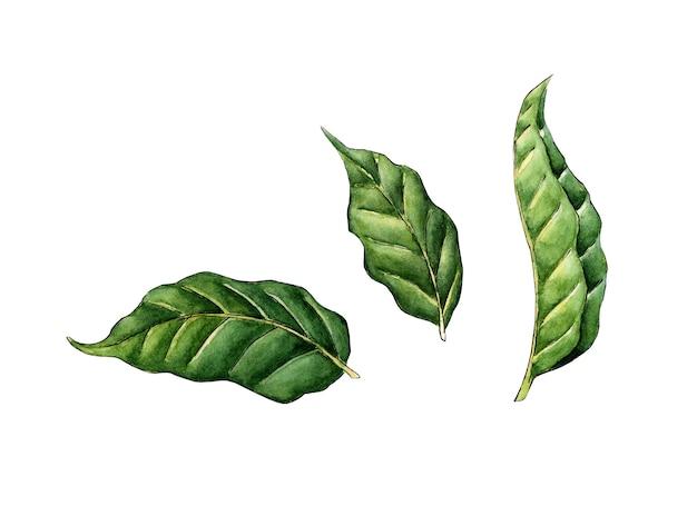 Ilustração em aquarela de folha verde clipart de folhas em um fundo branco folhagem fresca da árvore