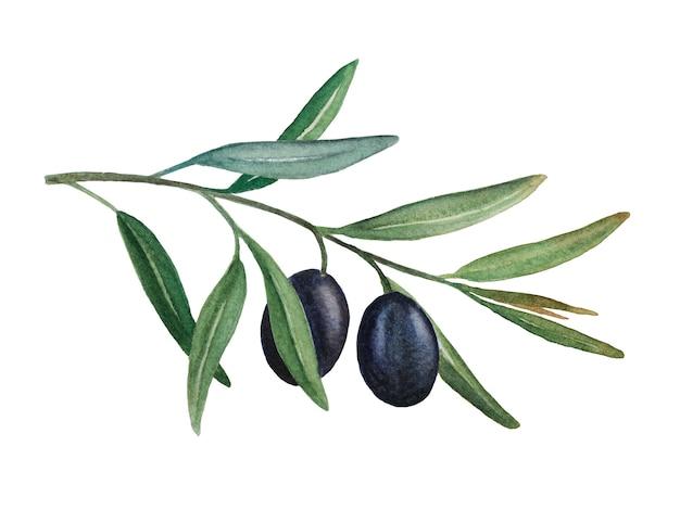 Ilustração em aquarela de ramo de oliveira com azeitonas pretas isolado no fundo branco