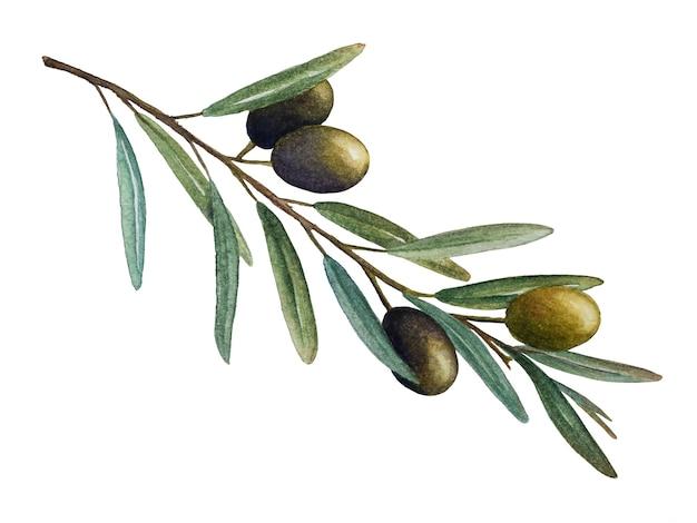 Ilustração em aquarela de ramo de oliveira com azeitonas verdes isolada no fundo branco