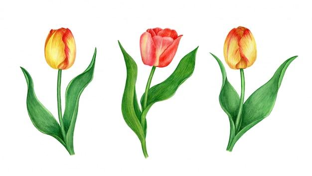 Ilustração em aquarela tulipas vermelhas e amarelas, isolada em um fundo branco