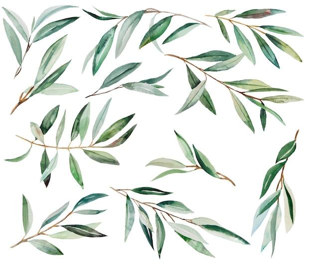 Ilustrações em aquarela de ramo de oliveira verde