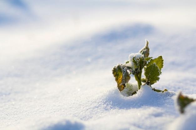 Imagem abstrata bonita do contraste da planta verde do wildflower coberta com a geada que está apenas na neve azul branca claro.