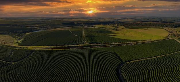 Imagem aérea da plantação de café no brasil ao pôr do sol.