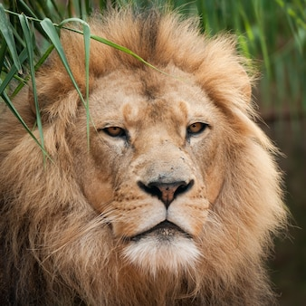 Imagem aproximada da cabeça de um lindo leão